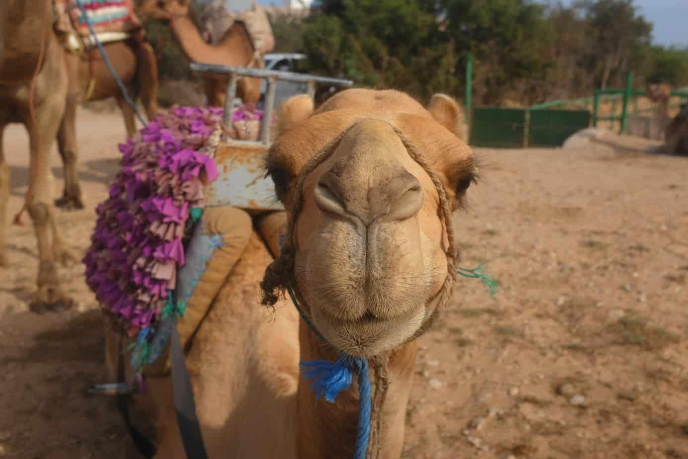Camel, adventure opportunities