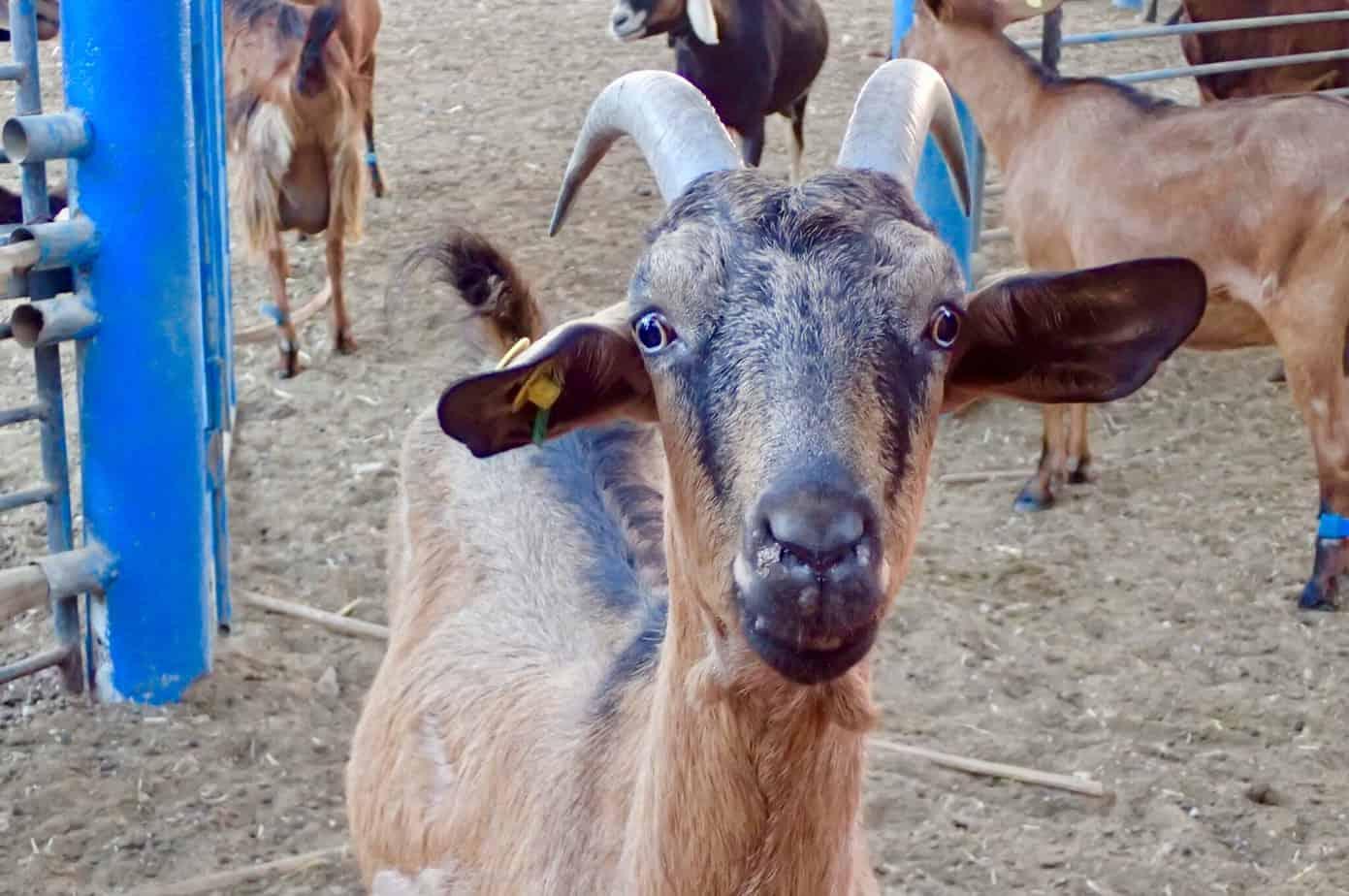 Neot Smadar goats