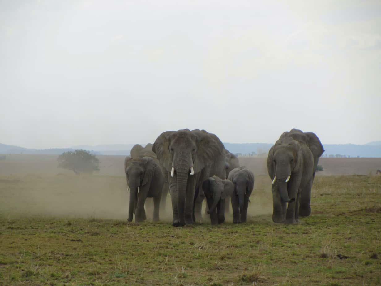 Elephant Herd Near