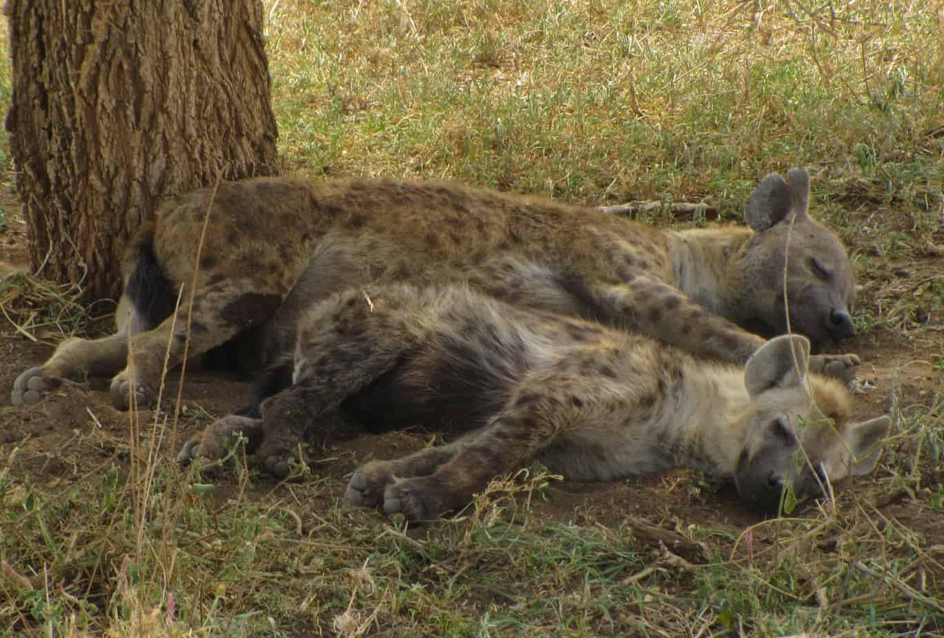 Hyena Sleeping