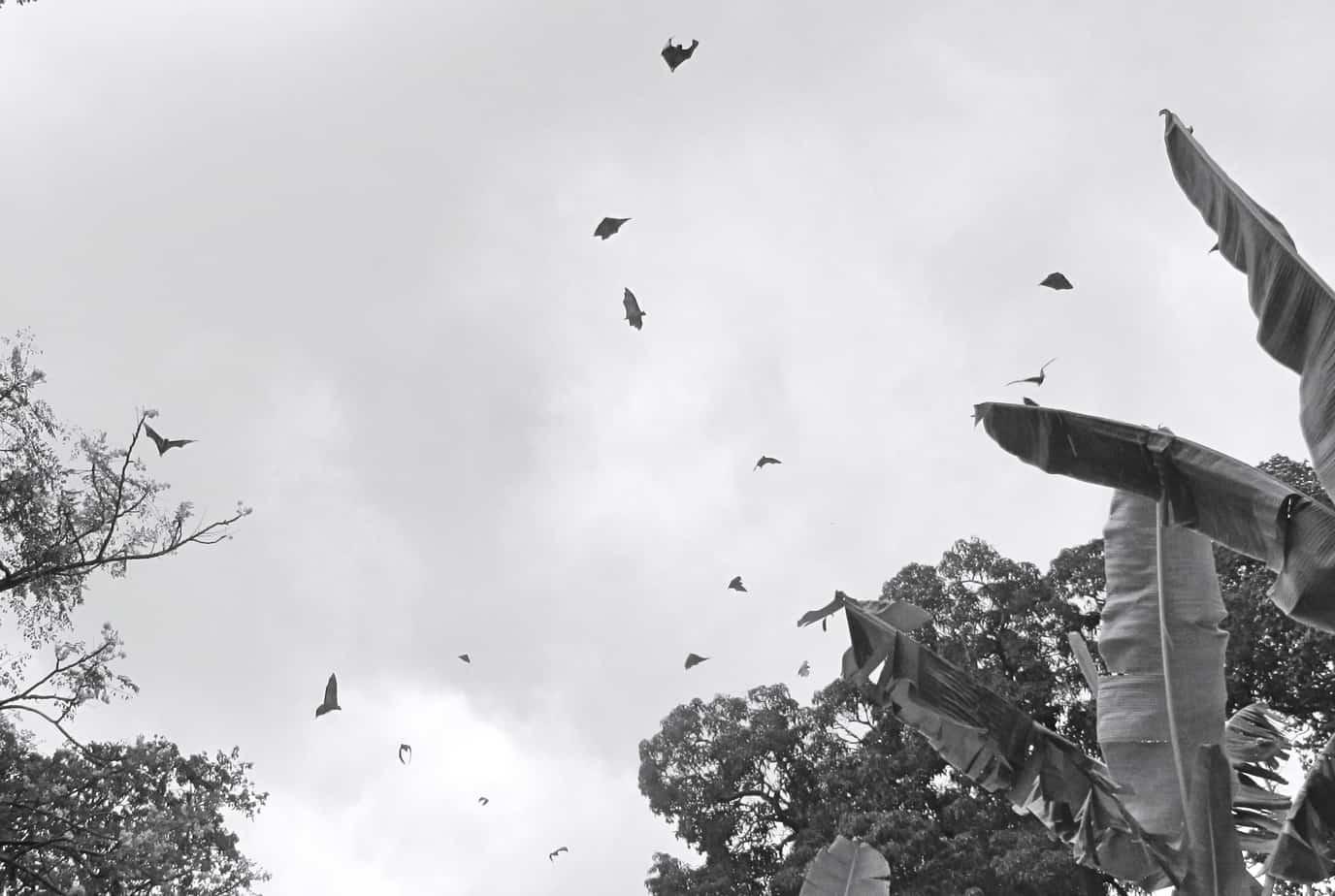 Flying bats on Chole Island
