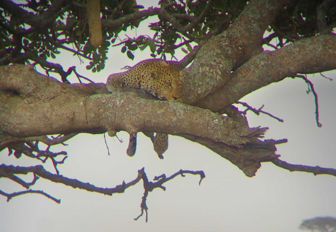 Leopard watching Zebra