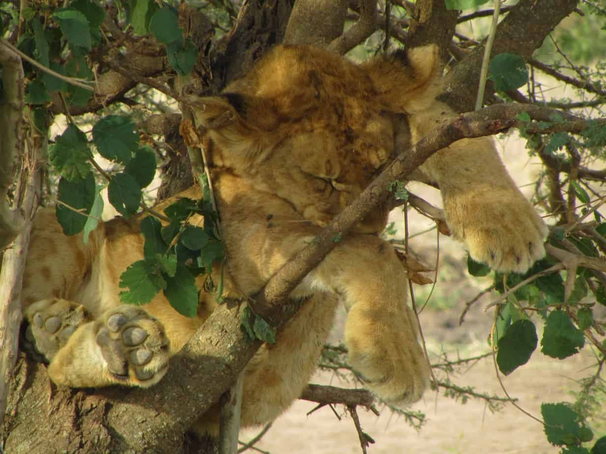 Lion Cub in Tree Close Up