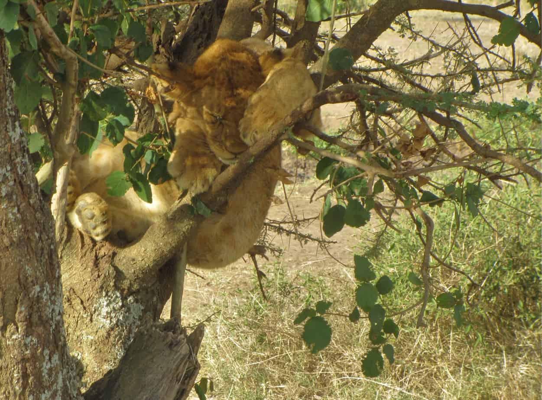 Lion Cub in Tree Falling