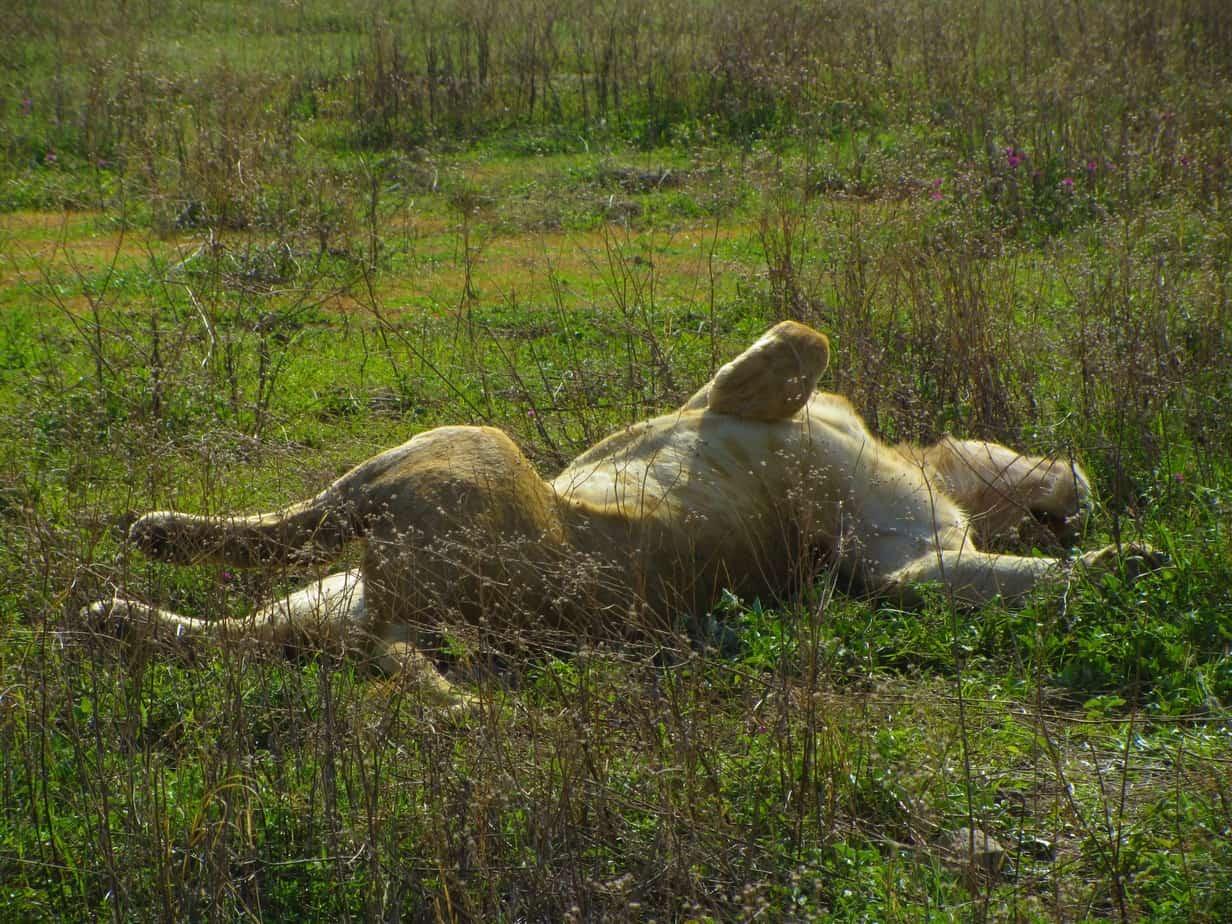 Lion Stretch