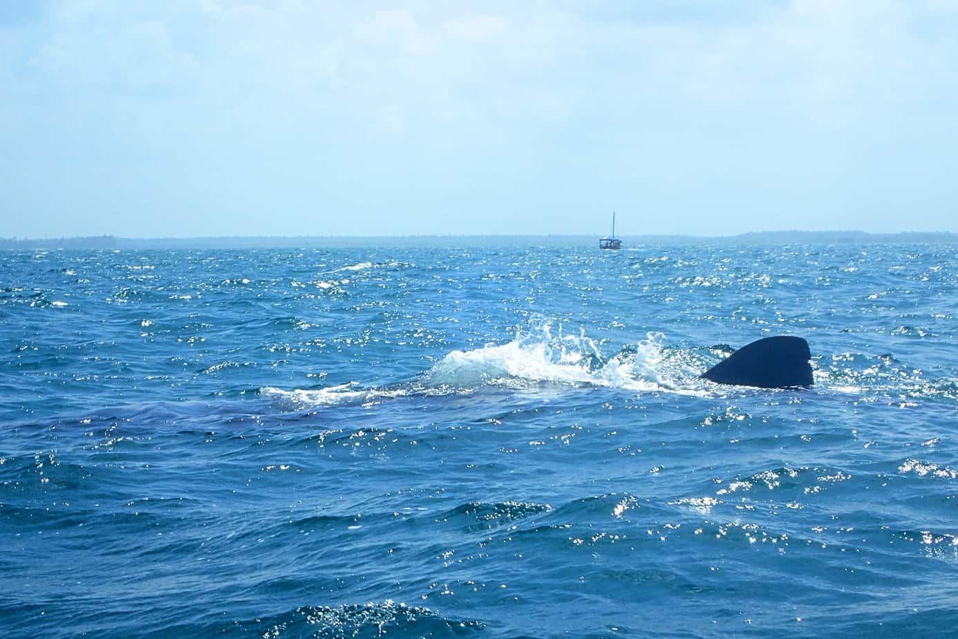 Afro Whale Shark Mafia Island