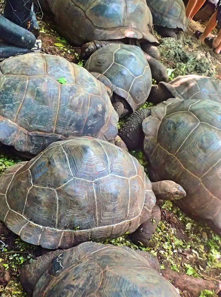 Giant tortoise on Prison Island