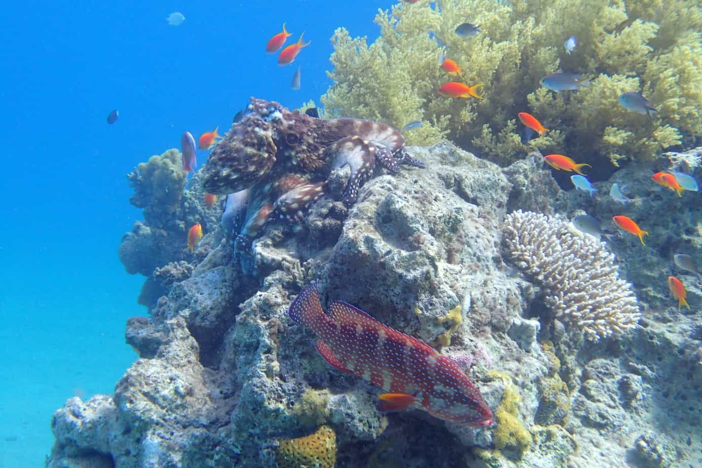 Octopus and coral reef in Eilat