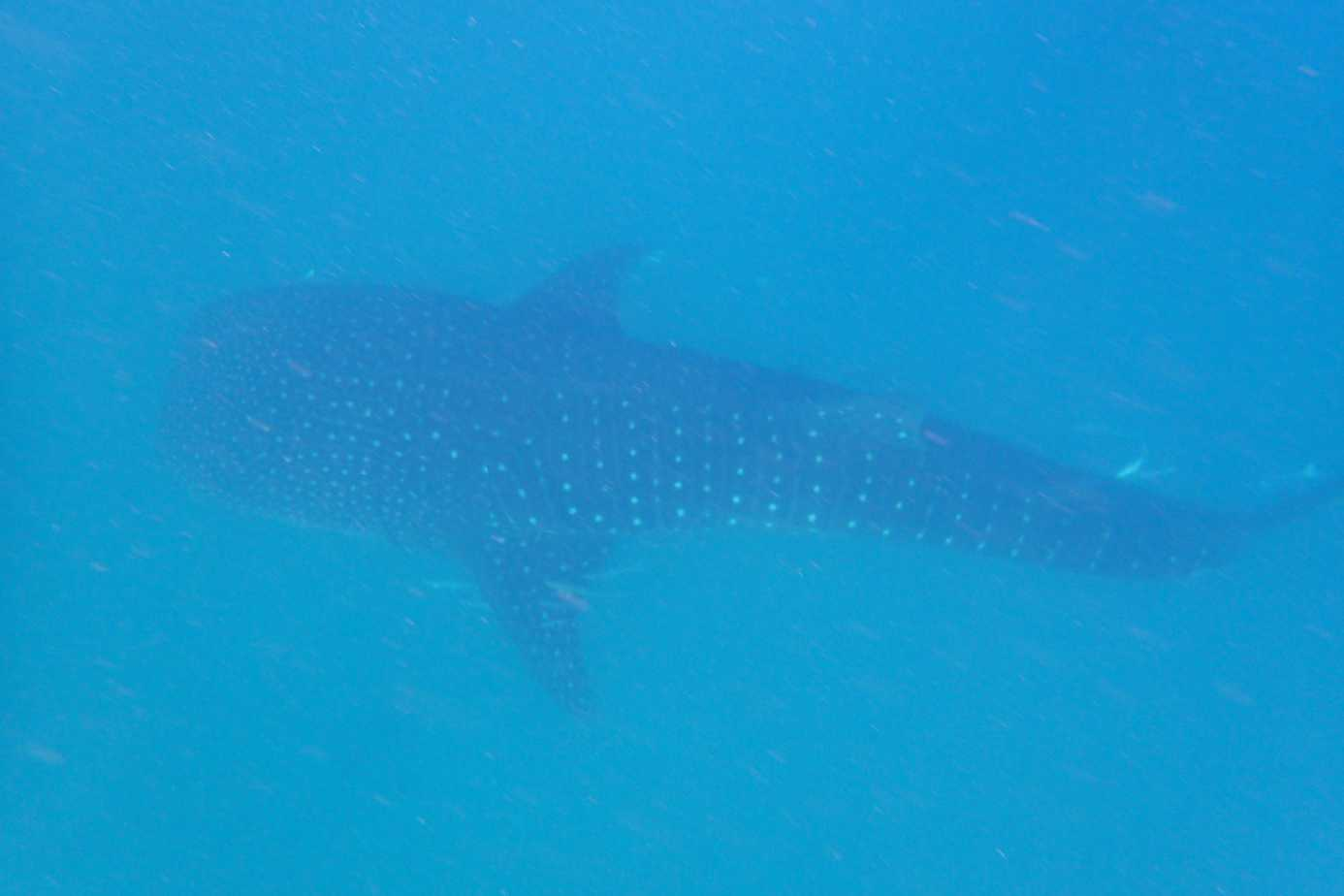Whale shark swimming in Mafia Island