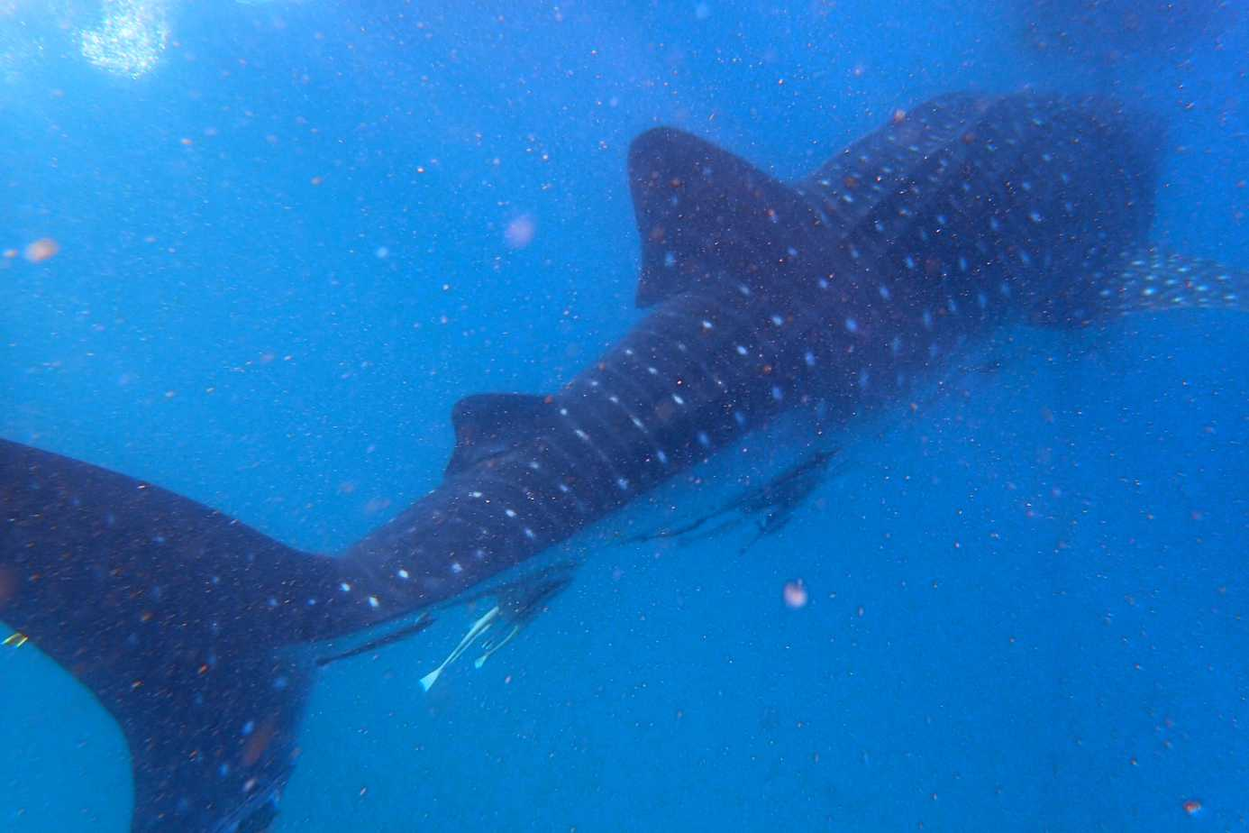 Whale Sharks on Mafia Island