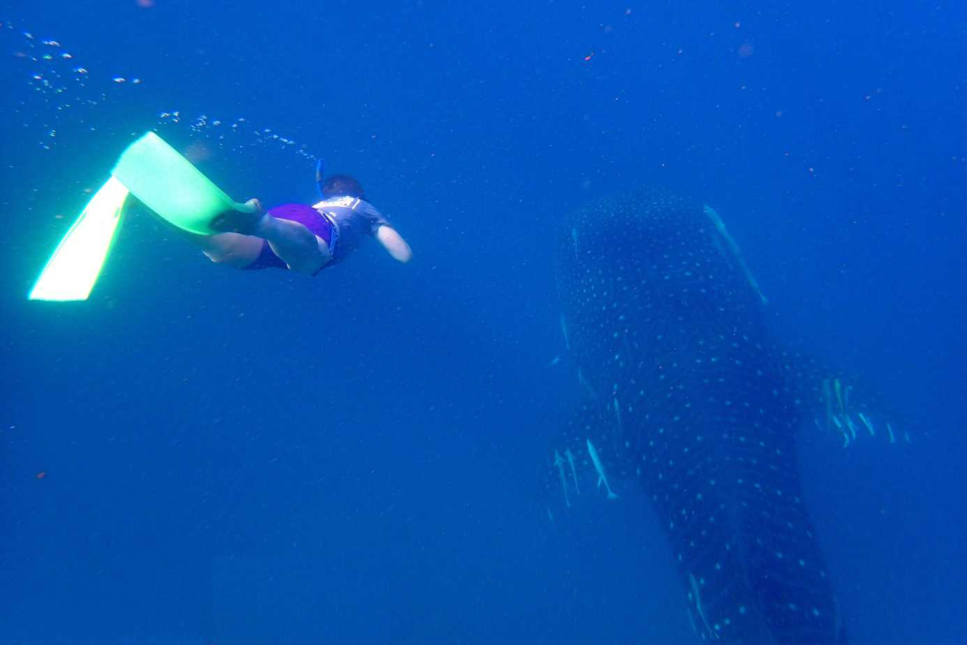 Mafia Island - Swimming with Whale Sharks