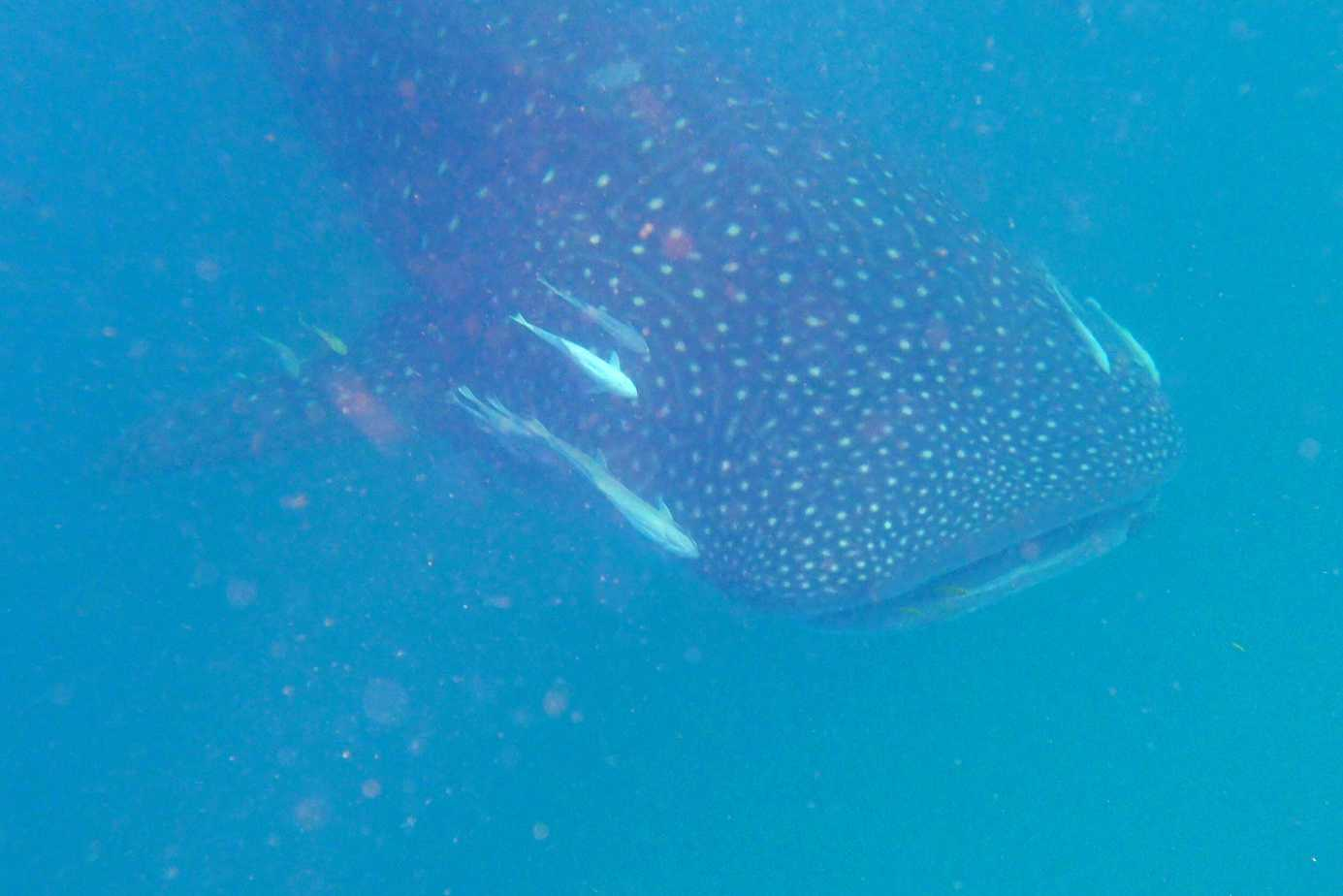 Swimming with whale sharks on Mafia Island