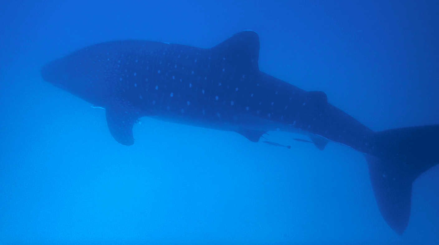 swimming with Whale Sharks Mafia Island