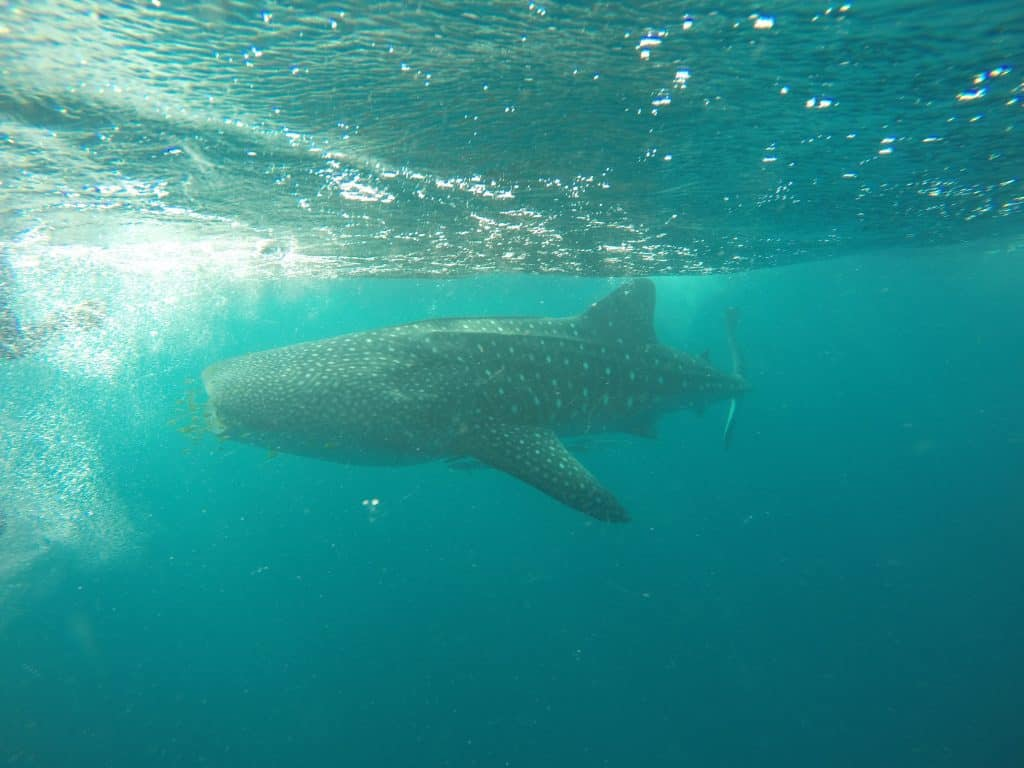 Whale Shark conservation expedition